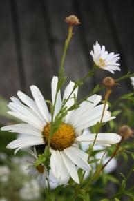 Prästkrage och vit höstaster