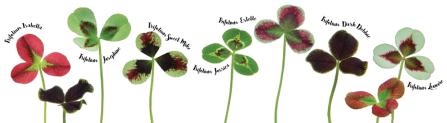 cool-clover-bloemen