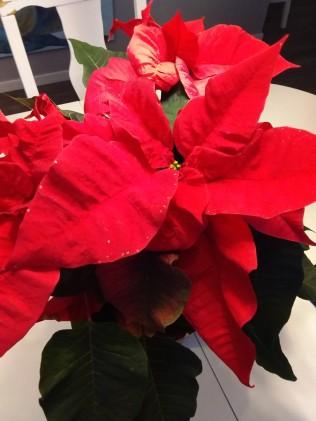 julstjärna_röd1
