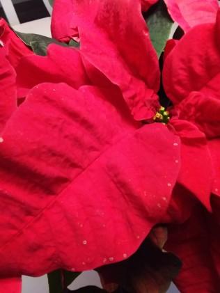 julstjärna_röd3